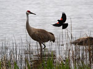 Clark-Lake-birds